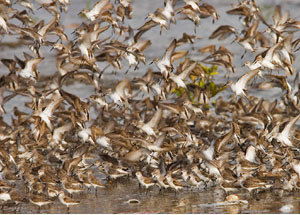 Shorebirds in flight